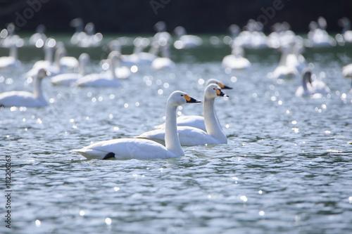 Fotobehang Zwaan 白鳥 Swan floating