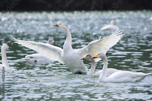 Fotobehang Zwaan 翼を広げる白鳥 Swans spreading wings