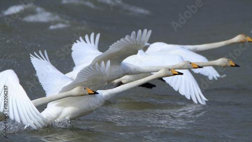 Fotobehang Zwaan 助走する白鳥(16:9) Swans take off
