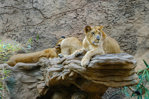 lion , group of lions laying on stone