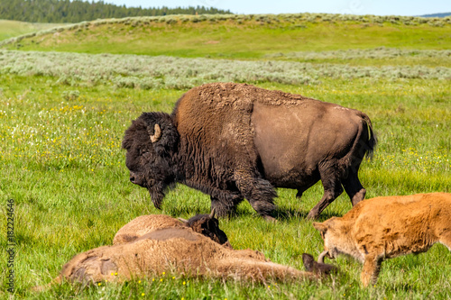 Plexiglas Bison American bison family in Yellowstone