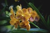 yellow orchid in the morning