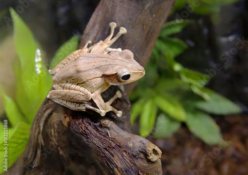 Fotobehang Kikker Древесная лягушка