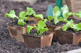 seedling of lettuce in pot in peat in the soil of a garden for plantation  - 182227482