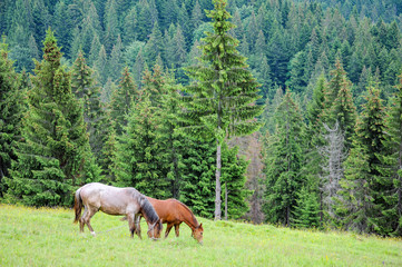 Horses graze on pasture on Carpathian mountains meadow in summer