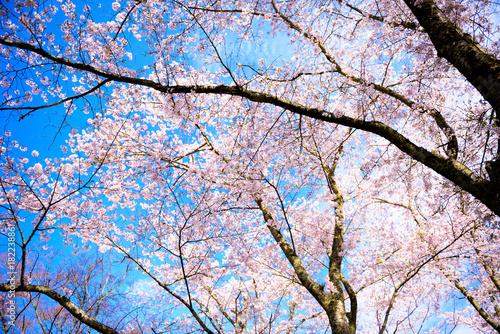 桜 Poster
