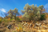 Olive trees on the mountainside among the stones on a sunny autumn day. Montenegro - 182240447