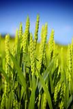 green wheat field - 182242001