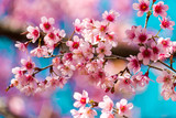 Cherry blossoms or Sakura flower in chiang mai Thailand