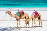 Camels on tropical beach in Kenya