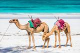 Camels on tropical beach in Kenya - 182248663