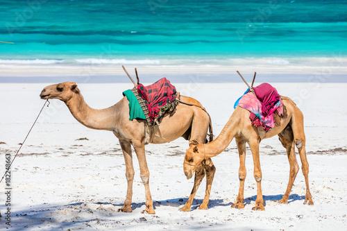 Camels on tropical beach in Kenya