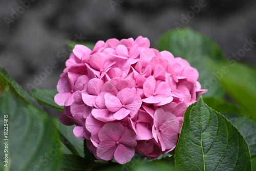 Plexiglas Hydrangea Hortensie