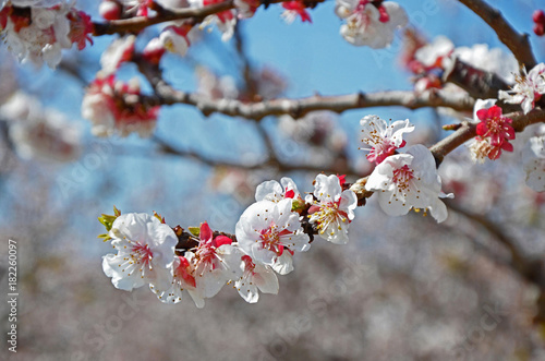 Flowering Cherry Blossom in close up Poster