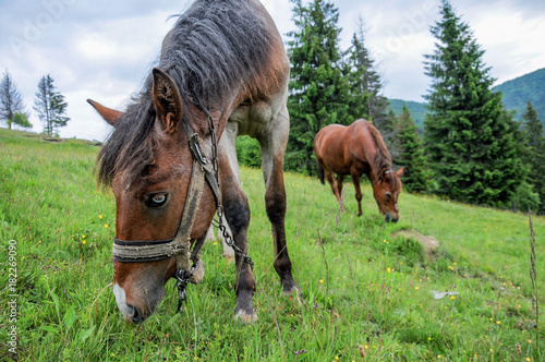 Aluminium Paarden Horses grazing on Carpathian mountains meadow pasture in summer cloudy day