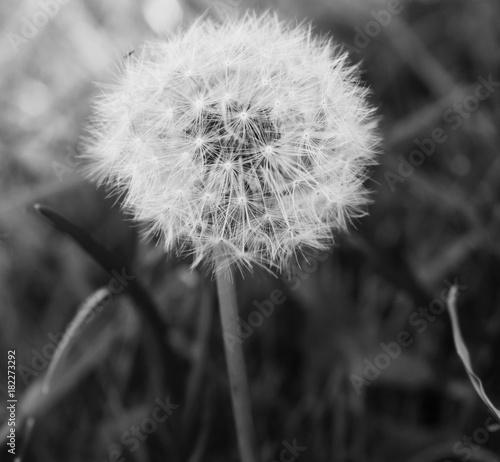 Plexiglas Paardebloemen Black and white dandelion
