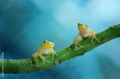 Fotobehang Kikker Golden Frog