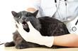 Veterinarian examining teeth to a grey cat on wooden table