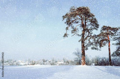 Deurstickers Lichtblauw Winter landscape. Frosty pine trees in the winter forest and village on the background