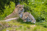 Leopards mating - 182299460