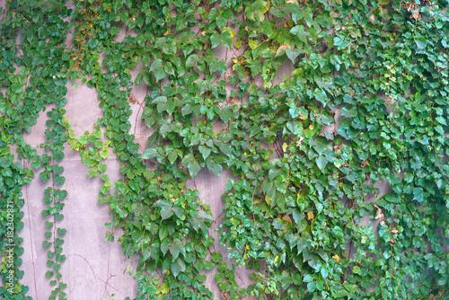 sciana-z-zielonym-bluszczem-jako-naturalny-tlo