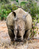 White rhino looking directly at camera - 182304688