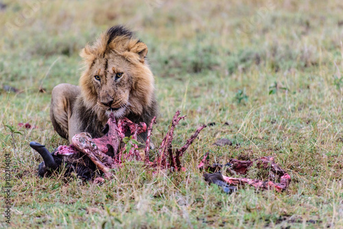 male lion eating kill