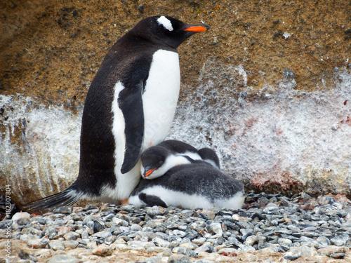 Papiers peints Antarctique Gentoo penguin with chicks