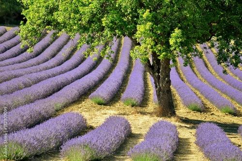 Tuinposter Lavendel Espace vital