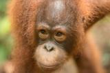Orangutan - 182310482