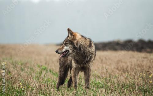 Plexiglas Wolf Grey wolf