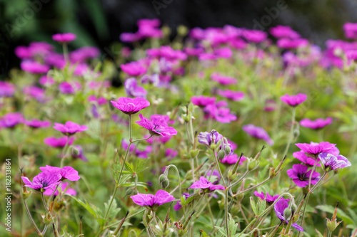 Many pink Geranium flowers in a garden