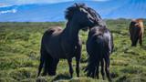 The Icelandic horse - 182316653