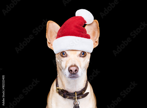 Staande foto Crazy dog christmas dog as santa claus