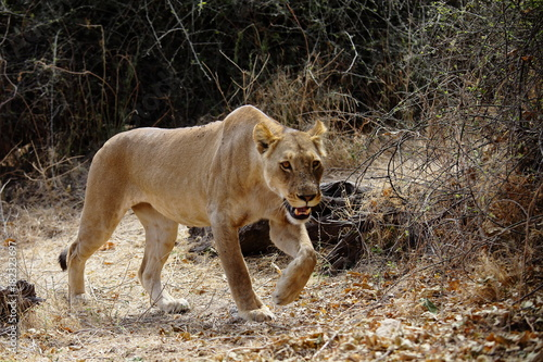 Plexiglas Lion Lioness on the hunt in Chobe national park in Botswana