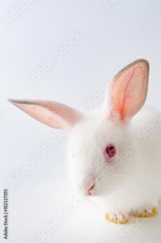 White rabbit in easter animal concept