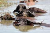 asian water buffalo in the water - 182332261