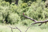 Southern Carmine Bee-eater - 182334666