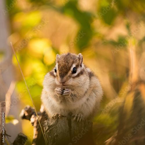 Tuinposter Eekhoorn Chipmunk