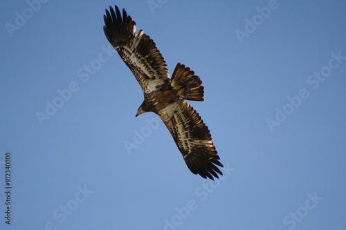 Plexiglas Eagle Eagles