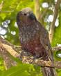 New Zealand native Kaka parrot on branch