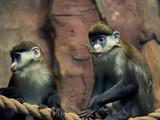 Portrait of Lesser Spot-Nosed Monkey - 182353869
