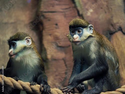 Fotobehang Aap Portrait of Lesser Spot-Nosed Monkey