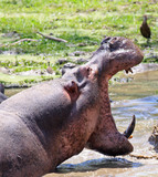 Large Hippo with mouth wide open and teeth showing in South Luangwa National Park, Zambia - 182358874
