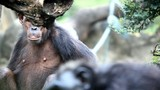 Chimpanzee - 182359029