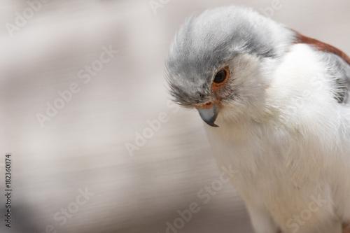 pygmy_falcon_1 Poster