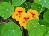 Fleurs de capucines tachetées de rouge et jaune - 182362632