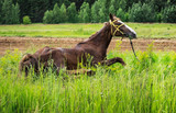 Race horse.Young mare resting lying in the tall grass.