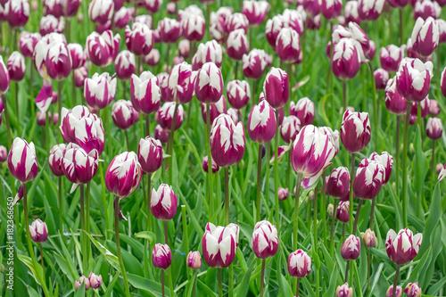 Papiers peints Vert Pink tulip in the field