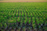 Rice fields waiting to be cultivated - 182376077